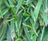 Browntop Bent grasses, Poa annua grasses,